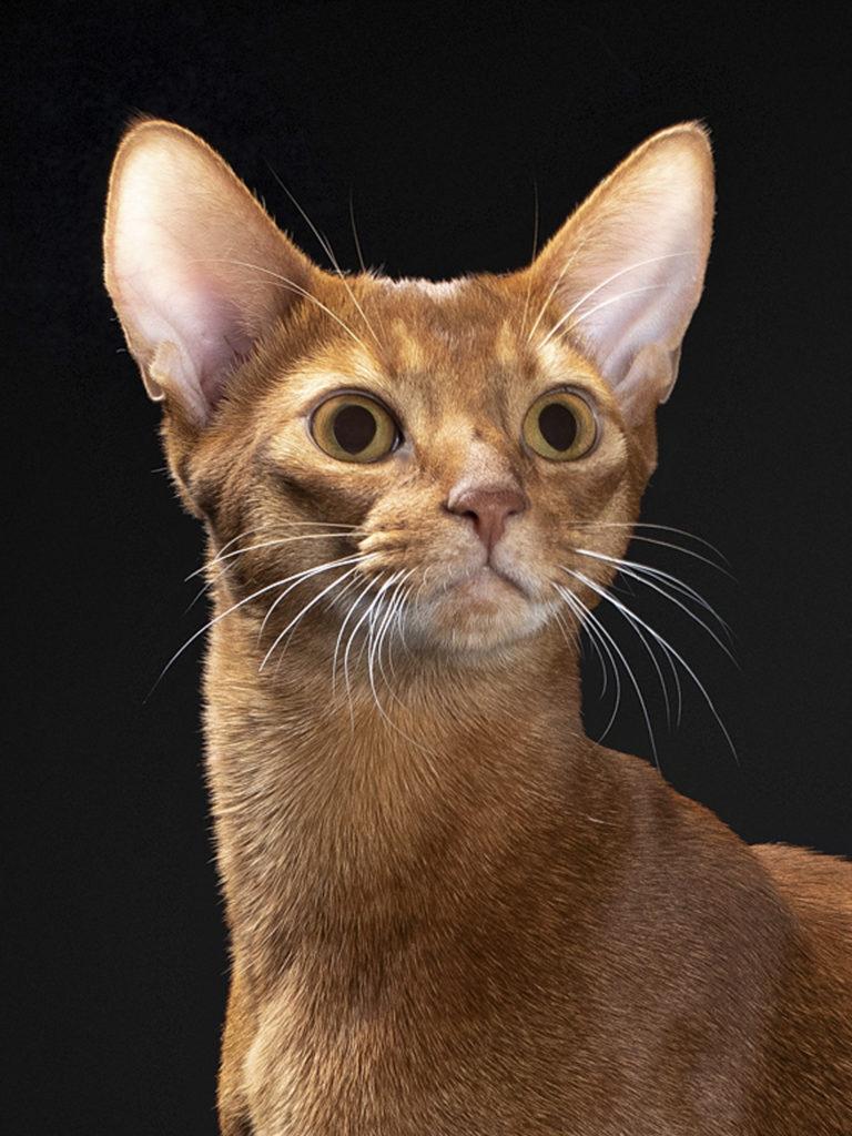 Абиссинский кот на вязку Apollo PanZimur Абиссинские кошки