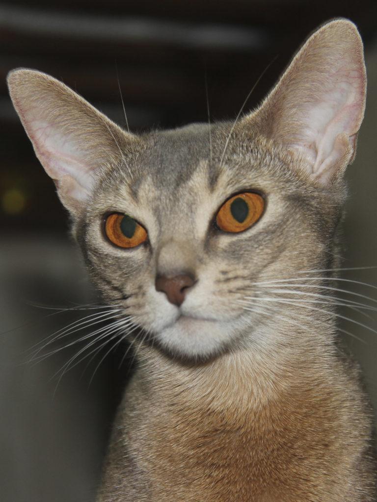 Купить лучшего абиссинского котенка. Ariadna Frisky Kittens. Абиссинские кошки