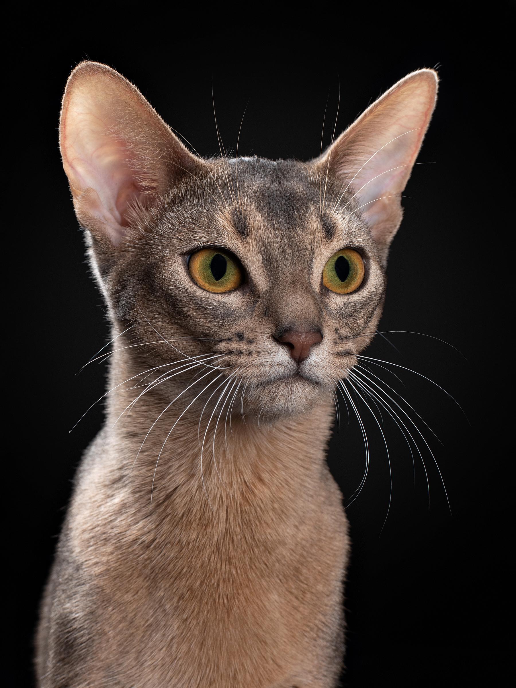 Купить лучшего абиссинского котенка. Andromeda PanZimur