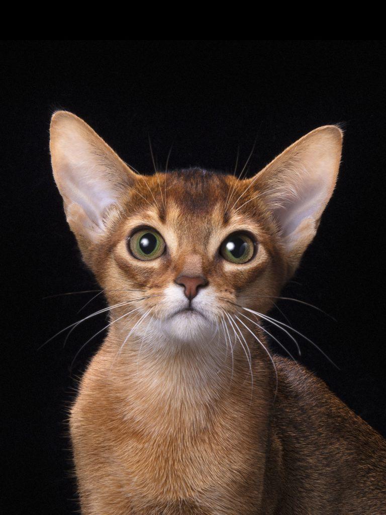 Купить лучшего абиссинского котенка. Andromeda PanZimur. Абиссинские кошки