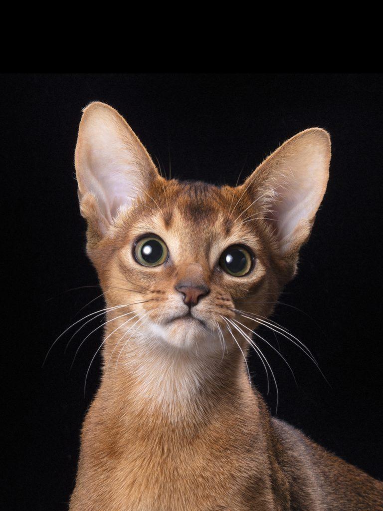 Купить абиссинского котёнка из питомника PanZimur