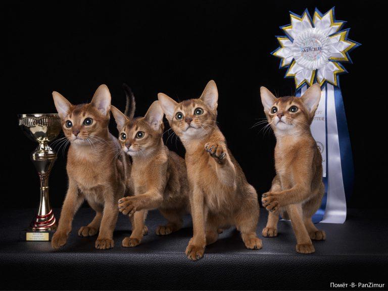 Купить лучшего абиссинского котенка